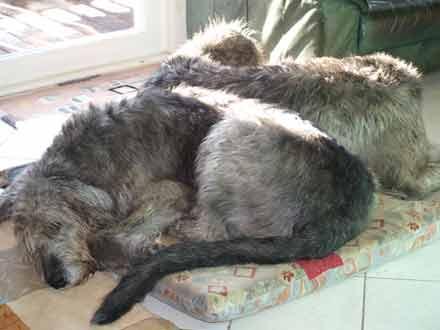 größe irischer wolfshund